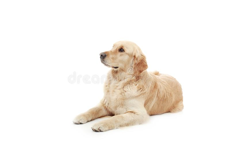 Adult dog royalty free stock images