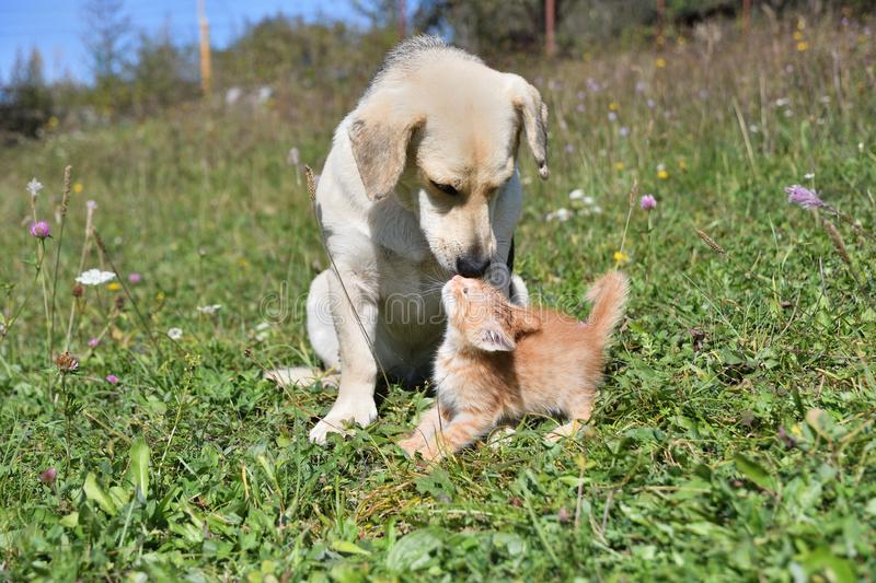 An adult dog has adopted a small orphaned cat stock images