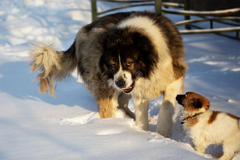 Adult dog and puppy in winter time. Adult Caucasian Shepherd dog and puppy in winter time. . Fluffy Caucasian shepherd dog and puppy stock image
