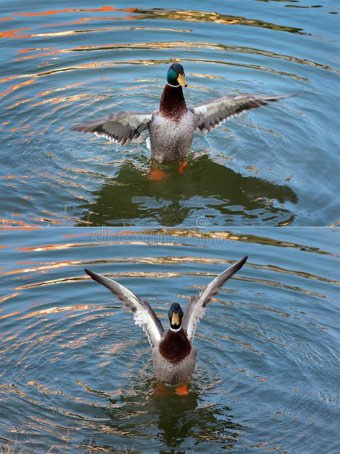 Free Adult Duck In River Or Lake Water Stock Photo - 141310730