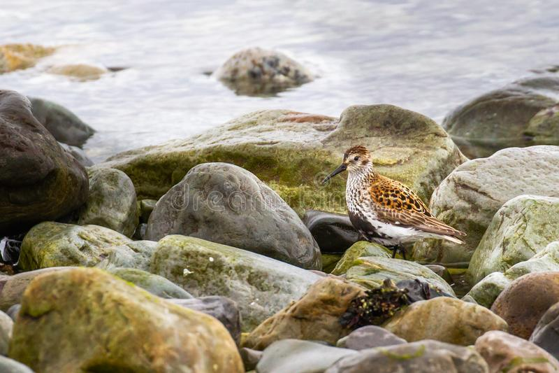 Adult Dunlin. In Breeding Plumage Foraging Along Intertidal Rocks, Ekkeroy, Norway royalty free stock photo