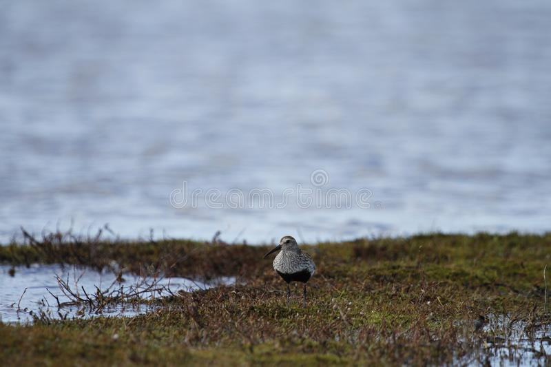 An adult Dunlin which is a medium sized sandpiper and shorebird found along an arctic lake shoreline royalty free stock photography
