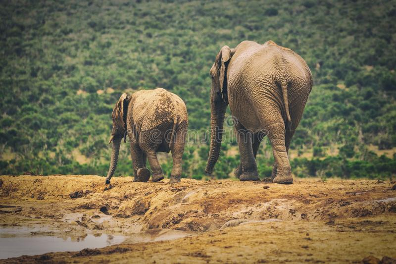 Adult elephant and baby elephant walking together in Addo National Park stock photo