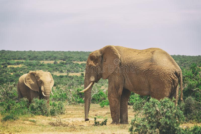 Adult elephant and baby elephant walking together in Addo National Park stock photography