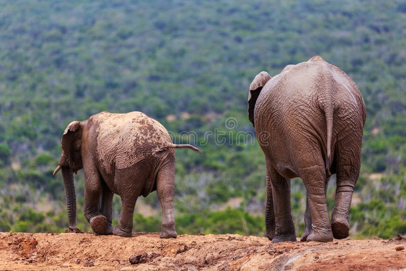 Adult elephant and baby elephant walking together in Addo National Park stock images