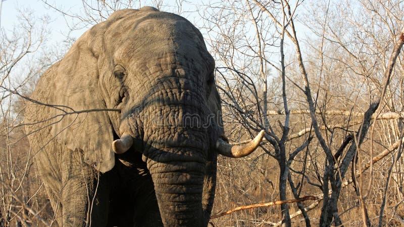 Adult Elephant Bull, Sabi Sands stock photo