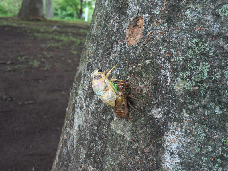 Adult emergence of cicada royalty free stock photos