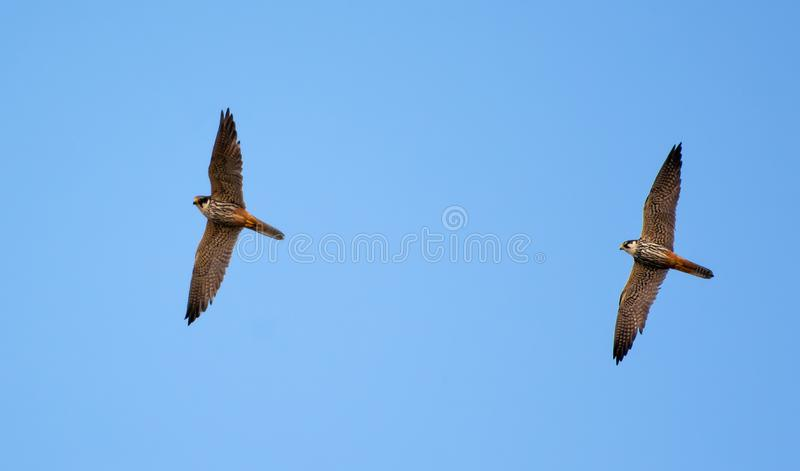 Pair of Adult Eurasian hobbies in flight together in blue sky stock image