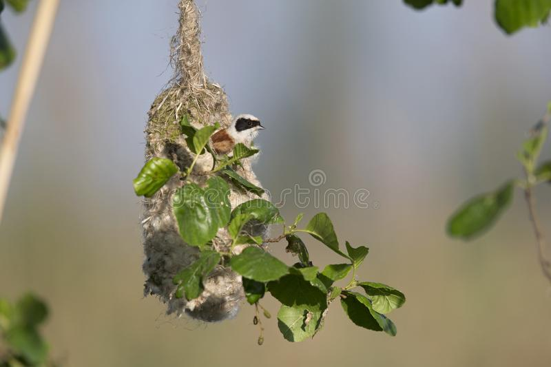 An adult Eurasian penduline tit Remiz pendulinus calling for an female out of its nest what he is making at the lakes of Linum stock images