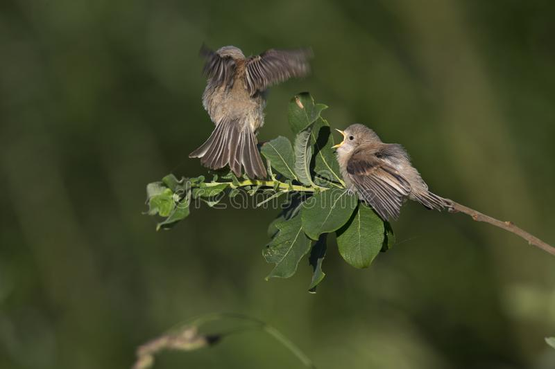 An adult Eurasian penduline tit Remiz pendulinus with its young begging on a tree branch at the lakes of Linum Germany.. An adult Eurasian penduline tit with stock image