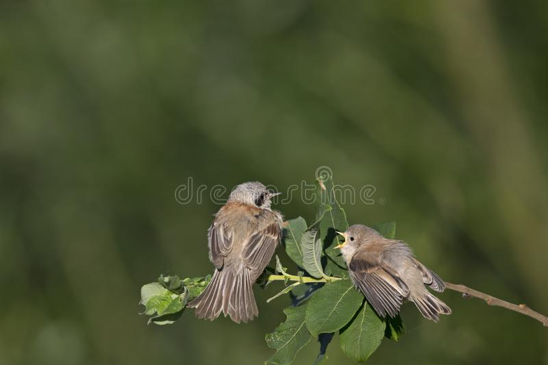 An adult Eurasian penduline tit Remiz pendulinus with its young begging on a tree branch at the lakes of Linum Germany.. An adult Eurasian penduline tit with royalty free stock photography