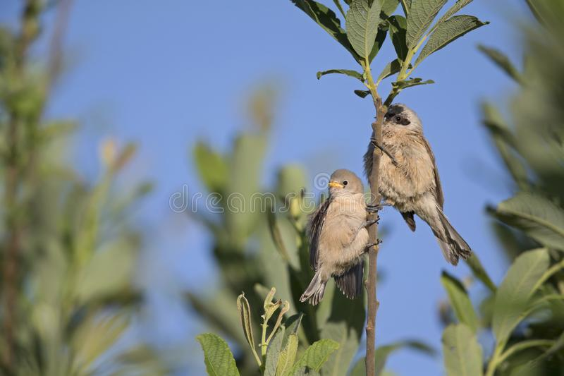 An adult Eurasian penduline tit Remiz pendulinus with its young begging on a tree branch at the lakes of Linum Germany.. An adult Eurasian penduline tit with royalty free stock photo
