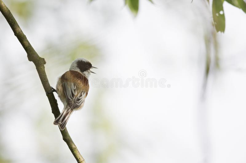 An adult Eurasian penduline tit Remiz pendulinus perched on a tree branch at the lakes of Linum Germany. royalty free stock photos