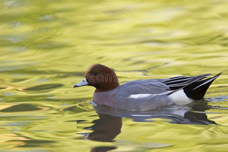 An adult Eurasian wigeon Mareca penelope swimming and foraging in a colourful pond. An adult Eurasian wigeon swimming and foraging in a colourful pond. Moving royalty free stock photography