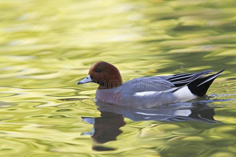 An adult Eurasian wigeon Mareca penelope swimming and foraging in a colourful pond. An adult Eurasian wigeon swimming and foraging in a colourful pond. Moving royalty free stock images