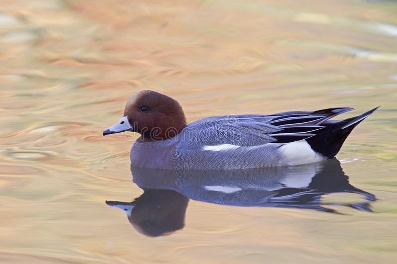 An adult Eurasian wigeon Mareca penelope swimming and foraging in a colourful pond. An adult Eurasian wigeon swimming and foraging in a colourful pond. Moving royalty free stock photos