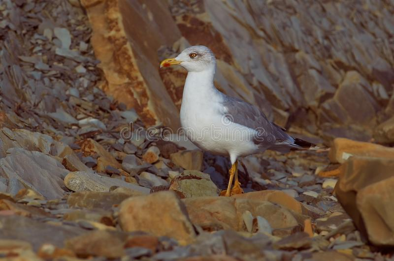 Adult european herring gull looking for food among the stones on stock images