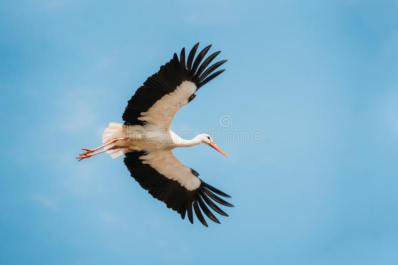 Download Adult European White Stork Flies In Blue Sky With Its Wings Spread Stock Image - Image of fauna, european: 106840493