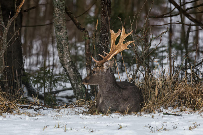 Adult Fallow Deer Buck Dama Dama , Side View. Grace Fallow Deer Buck Lies On The Snow In The Forest Undergrowth. Male Deer Fa stock image