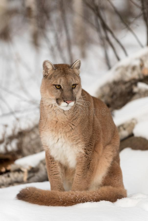 Adult Female Cougar Puma concolor Sits Looking Grumpy. Captive animal royalty free stock image