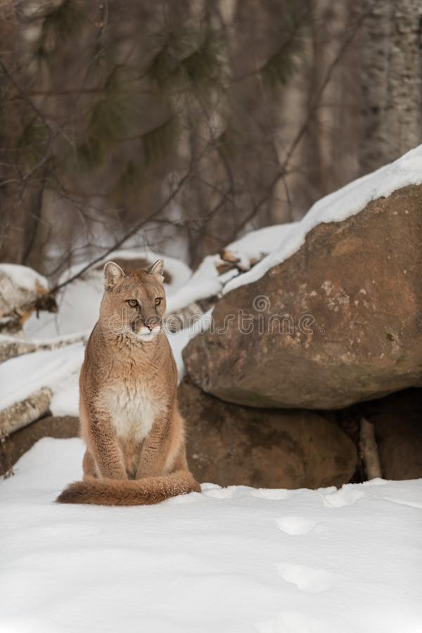 Adult Female Cougar Puma concolor Sits Next to Den. Captive animal royalty free stock image