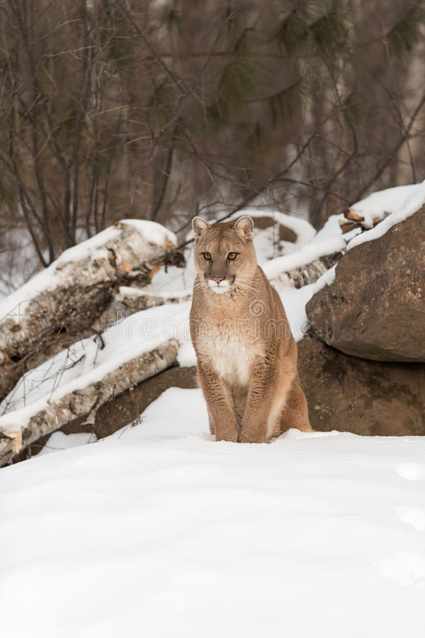 Adult Female Cougar Puma concolor Sits in Snow. Captive animal stock photography