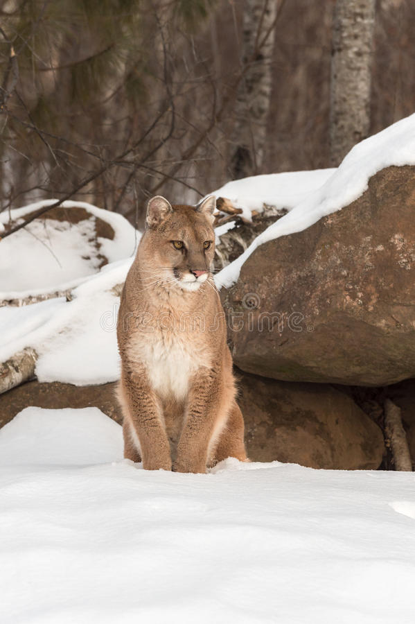 Adult Female Cougar Puma concolor Sits in Snow. Captive animal royalty free stock photography