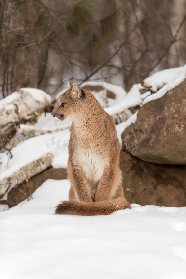 Adult Female Cougar Puma concolor Sits in Snow Looking Left. Captive animal stock photography
