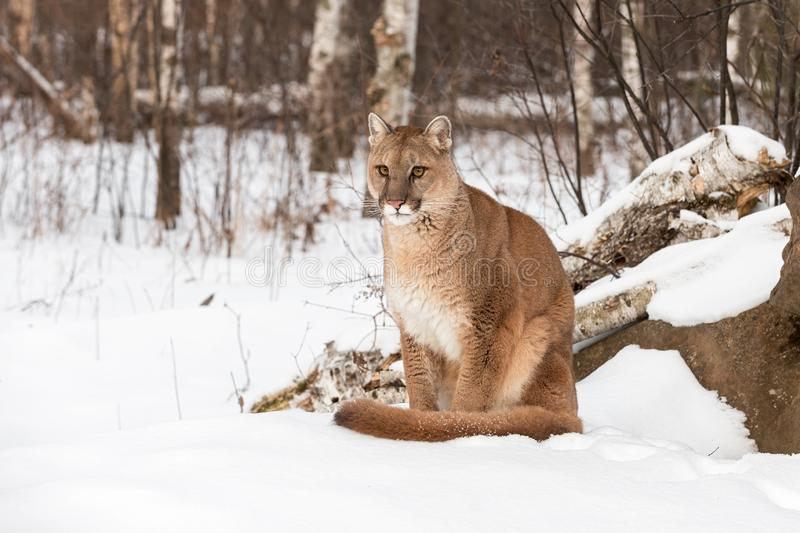 Adult Female Cougar Puma concolor Sits in Snow Looking Out Winter. Captive animal stock images
