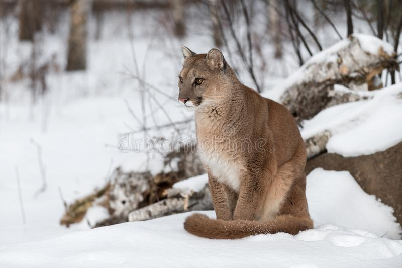 Adult Female Cougar Puma concolor Sits in Snow Staring Left Winter. Captive animal stock photo