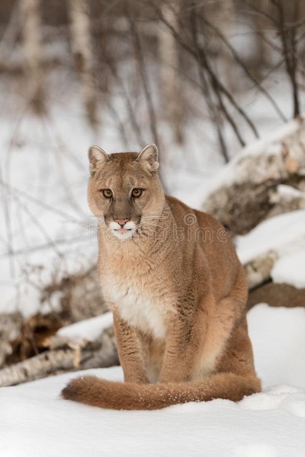 Adult Female Cougar Puma concolor Sits in Snow With Tip of Tongue Out Winter. Captive animal royalty free stock images