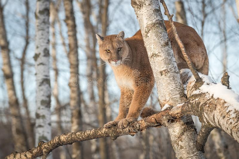 Adult Female Cougar Puma concolor Sits in Tree. Captive animal royalty free stock photography