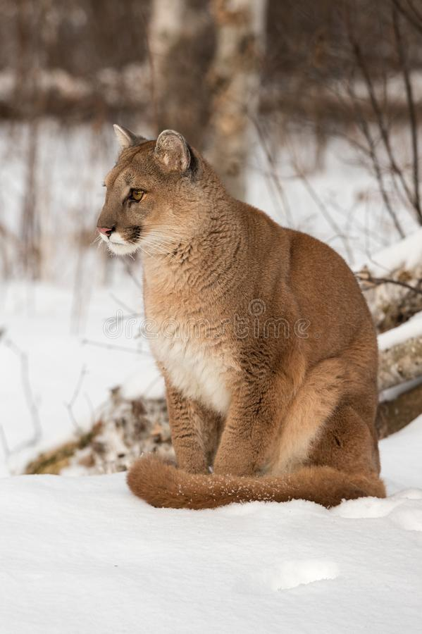 Free Adult Female Cougar Puma Concolor Stares Left Intently In Snow Winter Stock Photography - 160588232