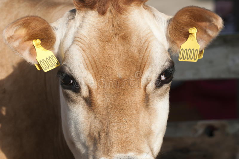 Adult female Dairy cattle. (dairy cows) of the species Bos taurus royalty free stock image