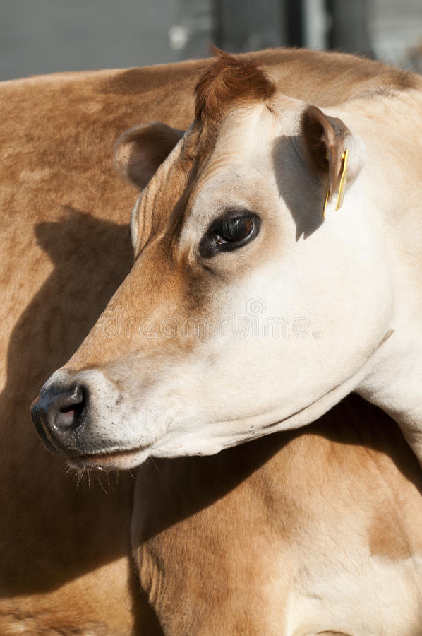 Adult female Dairy cattle. (dairy cows) of the species Bos taurus royalty free stock images