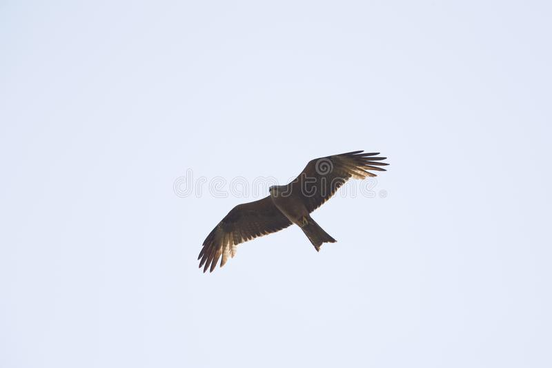 An adult female European black kite Milvus migrans soaring and carrying food in the sky. stock image