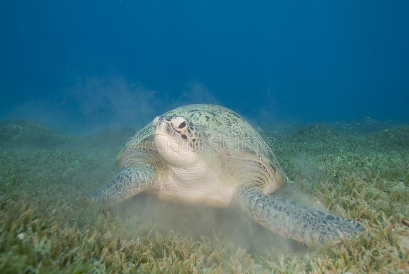 Adult female Green turtle on seagrass. stock photo