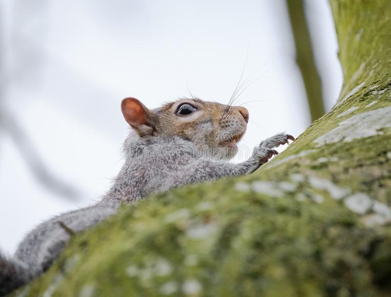Adult female Grey Squirrel seen watching, seen near its drey on a large tree. One of a breeding pair, this Grey Squirrel is seen starring at the photography royalty free stock images