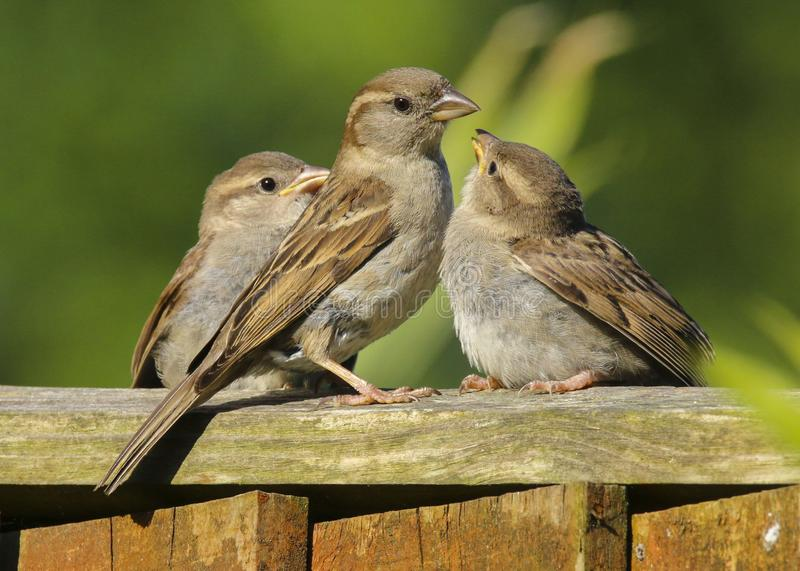 An adult female house sparrow passer domesticus feeding babies royalty free stock image