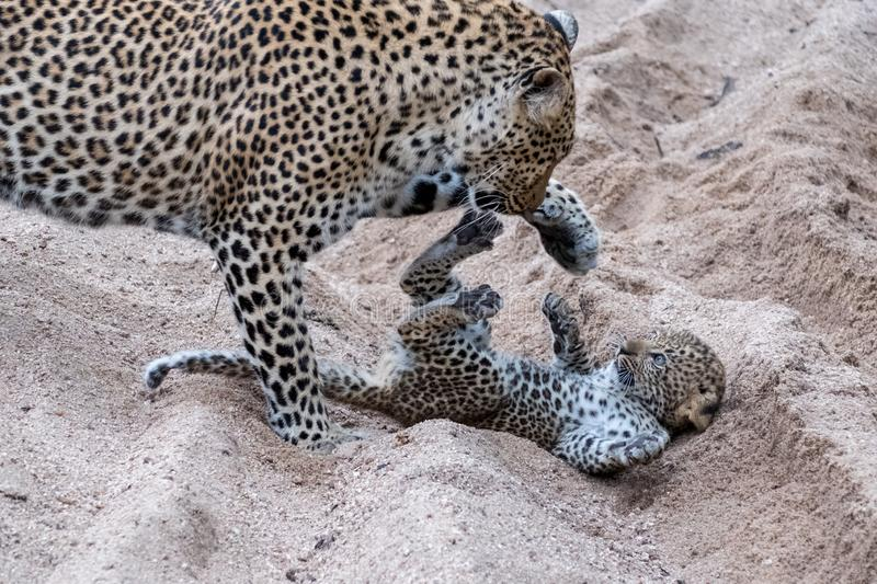 Adult female leopard and cub playing harmlessly in the sand at Sabi Sands safari park, Kruger, South Africa stock photos