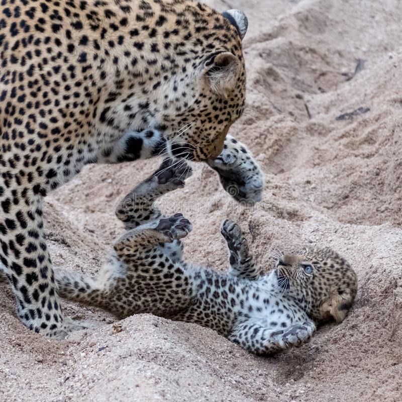 Adult female leopard and cub playing harmlessly in the sand at Sabi Sands safari park, Kruger, South Africa royalty free stock photos