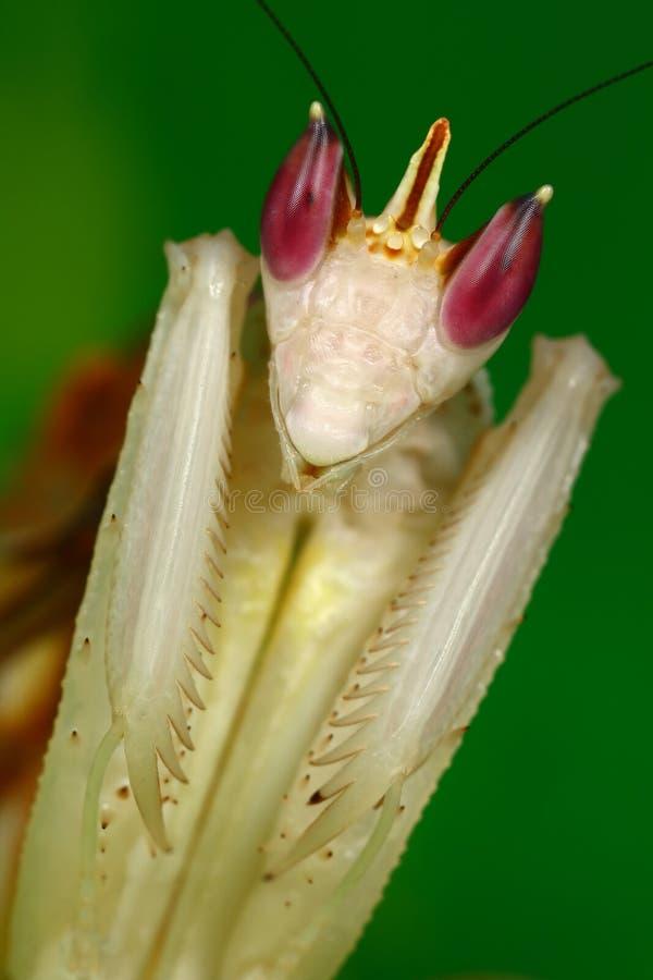 adult female mantis orchid στοκ φωτογραφίες με δικαίωμα ελεύθερης χρήσης
