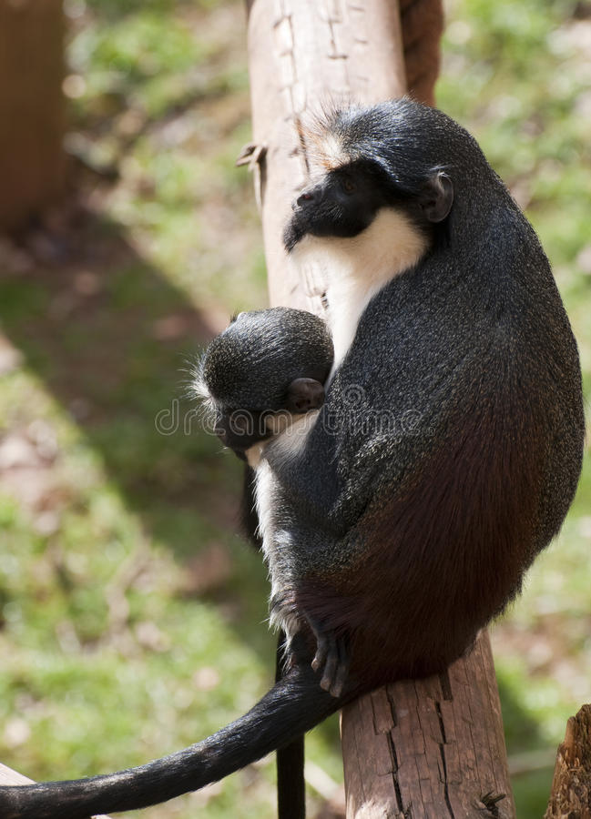 Adult Female Monkey With Baby Royalty Free Stock Images