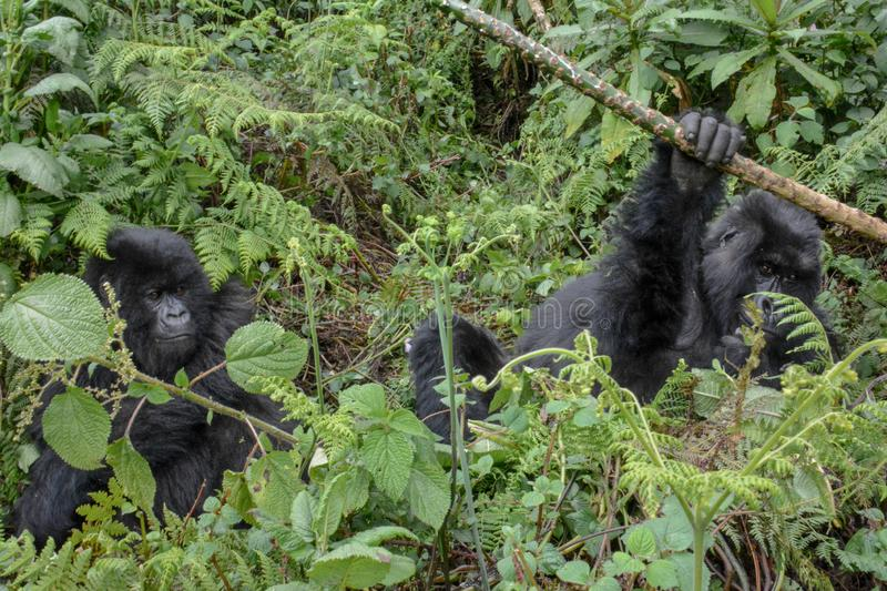 Adult female mountain gorilla holding a branch while an adolescent gorilla looks on. Adult female wild mountain gorilla holding onto a small branch while and royalty free stock images