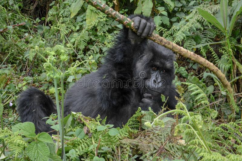 Adult female mountain gorilla holding a branch. Adult female wild mountain gorilla hanging onto a small branch in Volcanoes National Park Rwanda royalty free stock photos