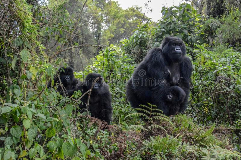 Adult female mountain gorilla holding very young gorilla with two others looking on. Adult female wild mountain gorilla with young gorilla holding onto her royalty free stock photography