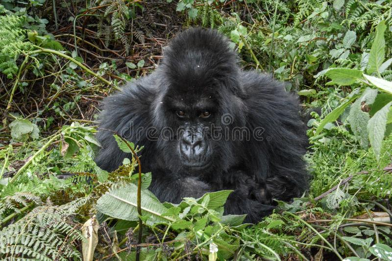 Adult female mountain gorilla looking straight on. Close up of an adult wild mountain gorilla looking straight in Volcanoes National Park Rwanda royalty free stock photography