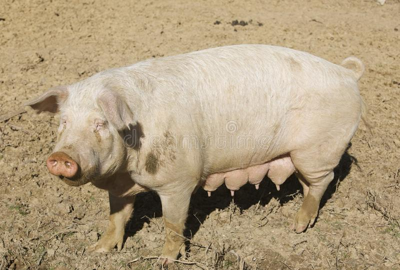 Pig in the Pig Yard. A large domesticated female pig roams the pig yard on a farm royalty free stock photography