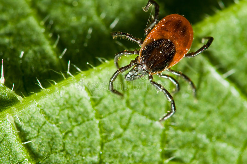 Adult female tick - Ixodes ricinus. Ticks spread many diseases including Lyme disease (borreliosis) and Rocky Mountain Spotted Fever (RMSF) to human and pets royalty free stock images