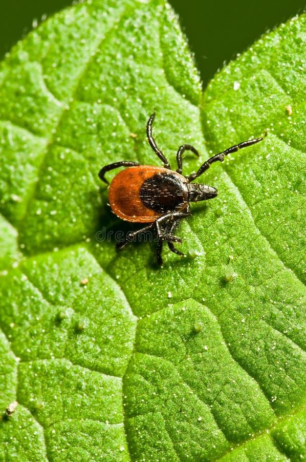 Free Adult Female Tick - Ixodes Ricinus Stock Images - 7392784